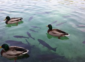 Plitvice-lake--fish-or-birds